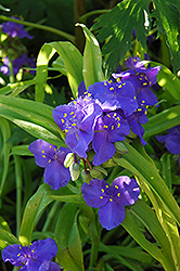 Sweet Kate Spiderwort (Tradescantia x andersoniana 'Sweet Kate') at TLC Garden Centers