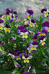 Johnny Jump-Up (Viola tricolor) at TLC Garden Centers