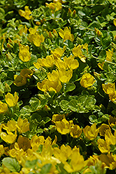 Creeping Jenny (Lysimachia nummularia) at TLC Garden Centers