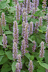 Blue Fortune Anise Hyssop (Agastache 'Blue Fortune') at TLC Garden Centers