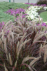 Purple Fountain Grass (Pennisetum setaceum 'Rubrum') at TLC Garden Centers