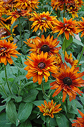 Cherokee Sunset Coneflower (Rudbeckia hirta 'Cherokee Sunset') at TLC Garden Centers