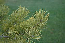 Scotch Pine (Pinus sylvestris) at TLC Garden Centers