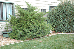 Mint Julep Juniper (Juniperus chinensis 'Mint Julep') at TLC Garden Centers