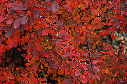 Rose Glow Japanese Barberry (Berberis thunbergii 'Rose Glow') at TLC Garden Centers