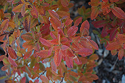 Rainbow Pillar Serviceberry (Amelanchier canadensis 'Glennform') at TLC Garden Centers