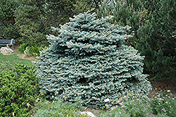 Montgomery Blue Spruce (Picea pungens 'Montgomery') at TLC Garden Centers