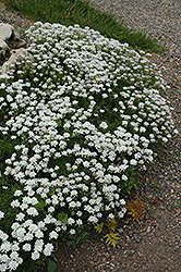 Little Gem Candytuft (Iberis sempervirens 'Little Gem') at TLC Garden Centers