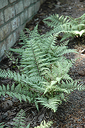 Ghost Fern (Athyrium 'Ghost') at TLC Garden Centers