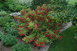 Red Prince Weigela (Weigela florida 'Red Prince') at TLC Garden Centers