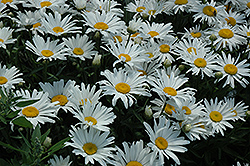 Silver Princess Shasta Daisy (Leucanthemum x superbum 'Silver Princess') at TLC Garden Centers