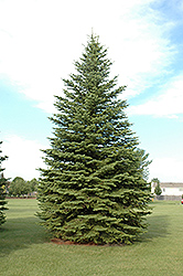 Colorado Spruce (Picea pungens) at TLC Garden Centers
