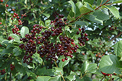 Chokecherry (Prunus virginiana) at TLC Garden Centers