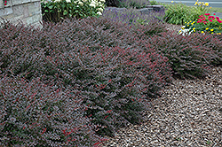 Crimson Pygmy Japanese Barberry (Berberis thunbergii 'Crimson Pygmy') at TLC Garden Centers