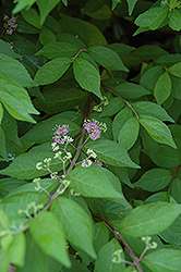Japanese Beautyberry (Callicarpa japonica) at TLC Garden Centers