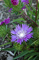 Honeysong Purple Aster (Stokesia laevis 'Honeysong Purple') at TLC Garden Centers