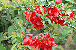 Texas Scarlet Flowering Quince (Chaenomeles speciosa 'Texas Scarlet') at TLC Garden Centers