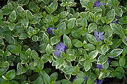 Sterling Silver Periwinkle (Vinca minor 'Sterling Silver') at TLC Garden Centers