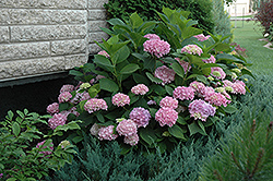 Endless Summer® Hydrangea (Hydrangea macrophylla 'Endless Summer') at TLC Garden Centers