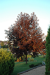Canada Red Chokecherry (Prunus virginiana 'Canada Red') at TLC Garden Centers