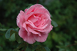 Queen Elizabeth Rose (Rosa 'Queen Elizabeth') at TLC Garden Centers