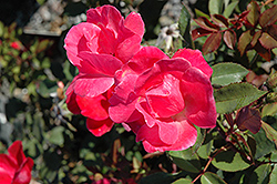 Pink Knock Out® Rose (Rosa 'Radcon') at TLC Garden Centers