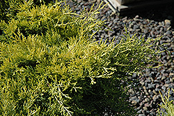 Sea Of Gold Juniper (Juniperus x media 'Sea Of Gold') at TLC Garden Centers