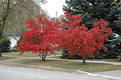 Flame Amur Maple (Acer ginnala 'Flame') at TLC Garden Centers