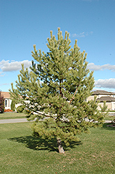 French Blue Scotch Pine (Pinus sylvestris 'French Blue') at TLC Garden Centers