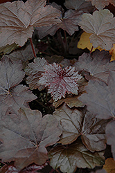 Blackout Coral Bells (Heuchera 'Blackout') at TLC Garden Centers
