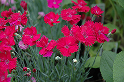 Neon Star Pinks (Dianthus 'Neon Star') at TLC Garden Centers