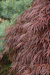 Red Select Cutleaf Japanese Maple (Acer palmatum 'Dissectum Red Select') at TLC Garden Centers