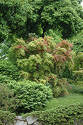 Shindeshojo Japanese Maple (Acer palmatum 'Shindeshojo') at TLC Garden Centers