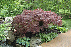 Red Select Japanese Maple (Acer palmatum 'Red Select') at TLC Garden Centers