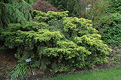 Saybrook Gold Juniper (Juniperus x media 'Saybrook Gold') at TLC Garden Centers