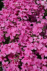 Red Wings Moss Phlox (Phlox subulata 'Red Wings') at TLC Garden Centers
