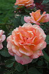 Tahitian Sunset Rose (Rosa 'Tahitian Sunset') at TLC Garden Centers