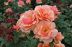 About Face Rose (Rosa 'About Face') at TLC Garden Centers