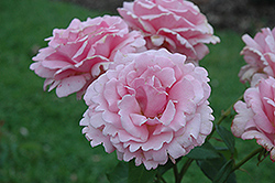 Memorial Day Rose (Rosa 'Memorial Day') at TLC Garden Centers