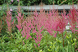 Visions in Pink Chinese Astilbe (Astilbe chinensis 'Visions in Pink') at TLC Garden Centers