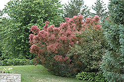 Royal Purple Smokebush (Cotinus coggygria 'Royal Purple') at TLC Garden Centers