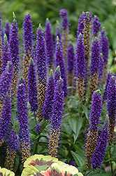 Royal Candles Speedwell (Veronica spicata 'Royal Candles') at TLC Garden Centers