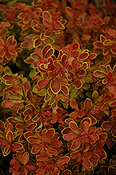 Admiration Japanese Barberry (Berberis thunbergii 'Admiration') at TLC Garden Centers