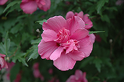 Lucy Rose Of Sharon (Hibiscus syriacus 'Lucy') at TLC Garden Centers