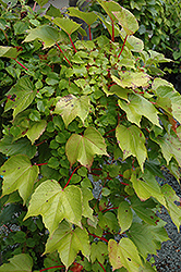 Green Showers Boston Ivy (Parthenocissus tricuspidata 'Green Showers') at TLC Garden Centers