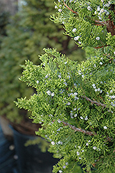Hollywood Juniper (Juniperus chinensis 'Torulosa') at TLC Garden Centers