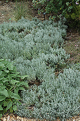 Cotton Lavender (Santolina chamaecyparissus) at TLC Garden Centers