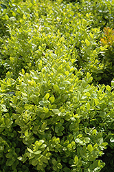 Dwarf English Boxwood (Buxus sempervirens 'Suffruticosa') at TLC Garden Centers