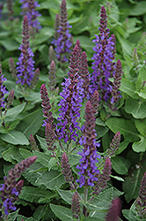 Sensation Deep Blue Sage (Salvia nemorosa 'Sensation Deep Blue') at TLC Garden Centers