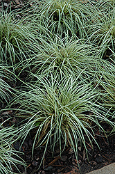 Evergold Variegated Japanese Sedge (Carex oshimensis 'Evergold') at TLC Garden Centers